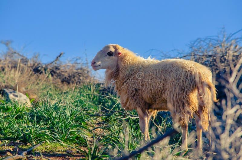 Sheeps in aard op weide De landbouw openlucht, Kreta royalty-vrije stock foto
