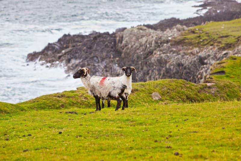 Sheeps in Achill Insel, Irland lizenzfreies stockbild