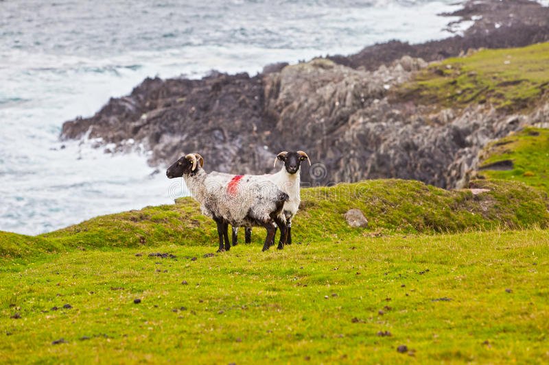 Download Sheeps At Achill Island, Ireland Royalty Free Stock Image - Image: 20962346