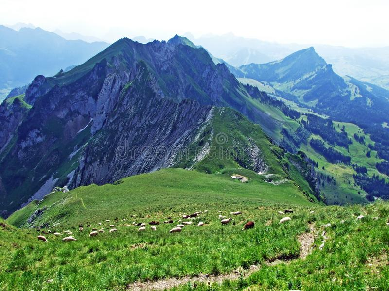 Sheeps on Alpine pastures of Alpstein mountain range seek refreshment from the summer sun stock photography