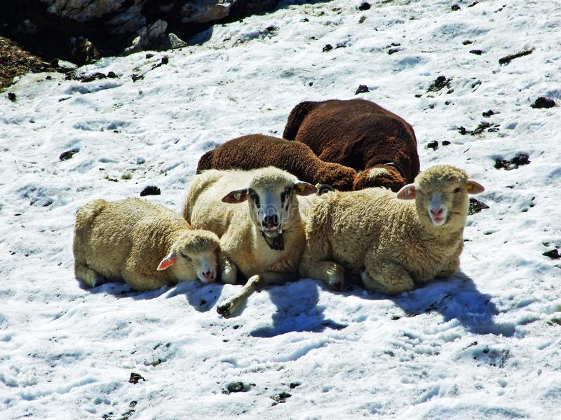 Sheeps on Alpine pastures of Alviergruppe mountain range seek refreshment from the summer sun stock images