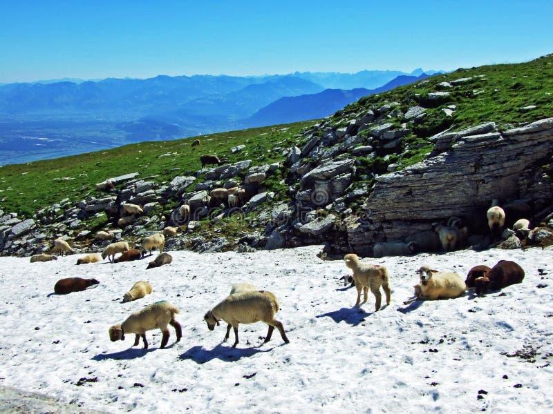 Sheeps on Alpine pastures of Alviergruppe mountain range seek refreshment from the summer sun stock photo