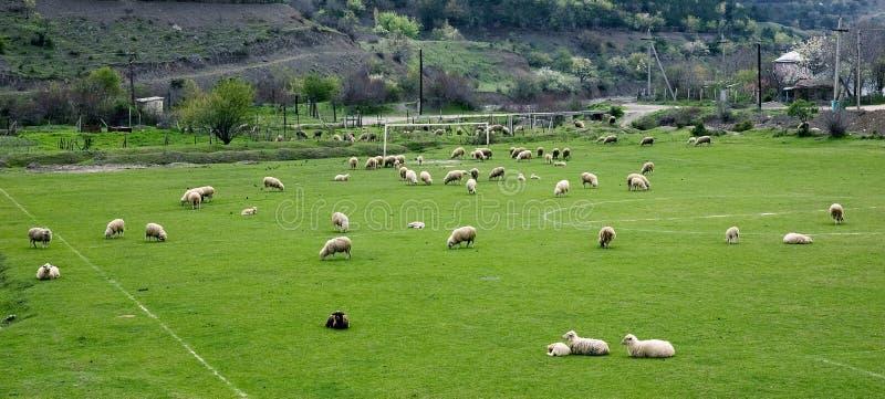 Sheeps auf einem Fußballplatz stockbild