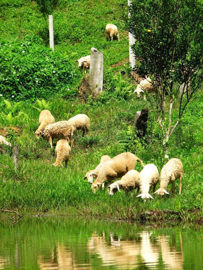 Sheeps bij het Regenwoud van Borneo, Miri, Borneo, Maleisië stock foto
