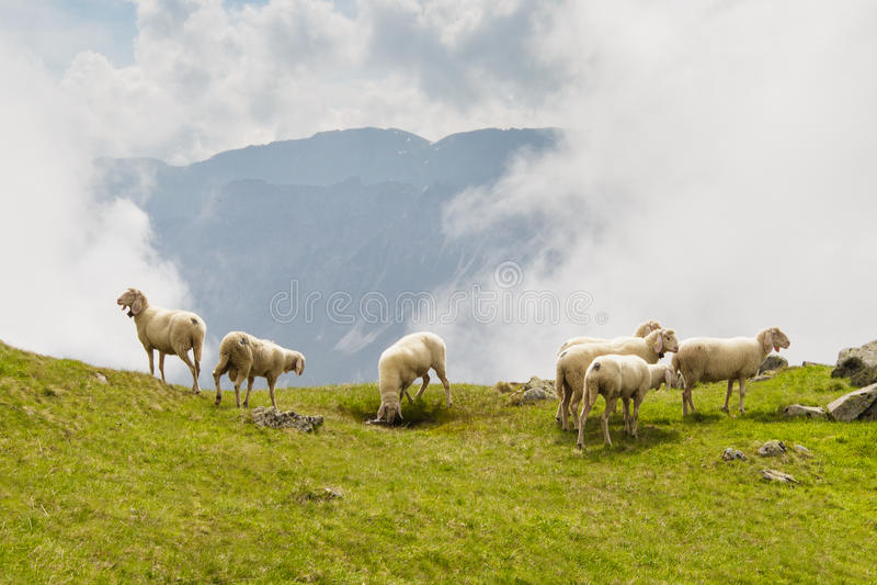 Sheeps bij weide royalty-vrije stock afbeeldingen