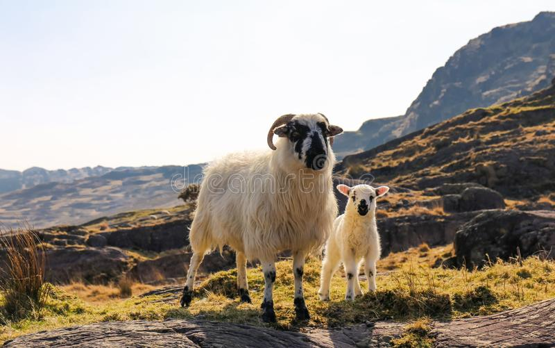 Sheeps in Caha-Bergen, die in Ierland beklimmen stock fotografie