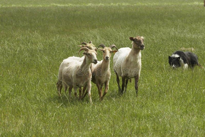 Sheeps com Collie de beira foto de stock