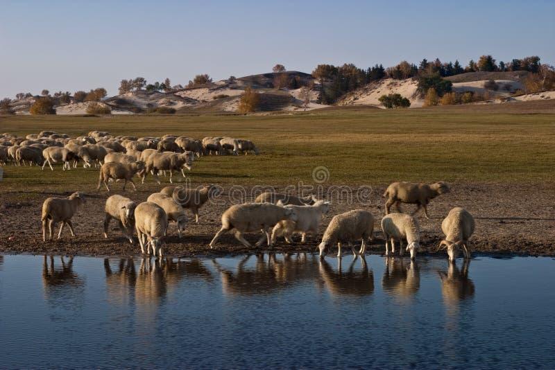 Sheeps dal lago fotografie stock