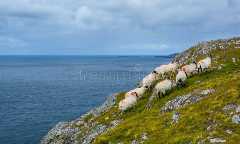 Sheeps die dichtbij de Slieve-Liga, Provincie Donegal, Ierland zwerven royalty-vrije stock afbeelding