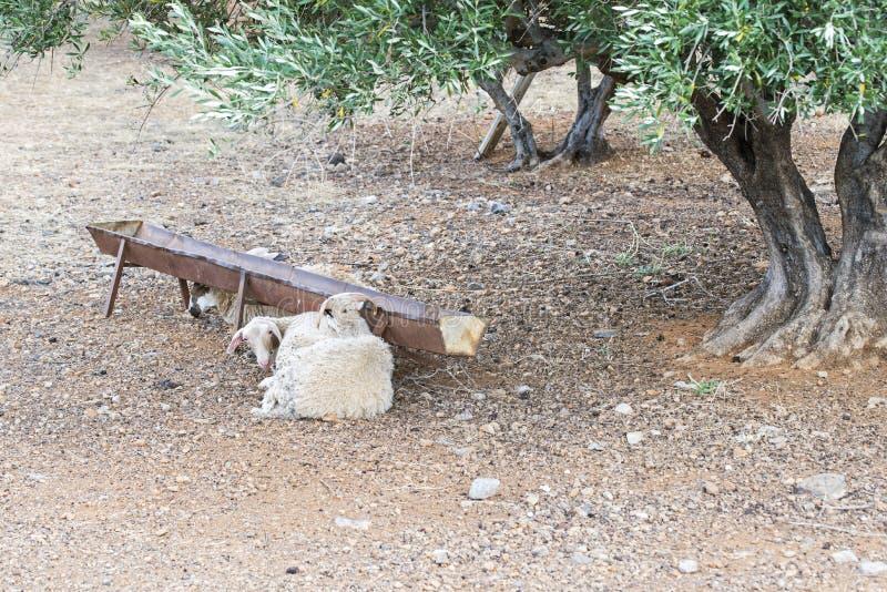 Sheeps die dichtbij de trog onder groene olijfboom leggen royalty-vrije stock afbeelding
