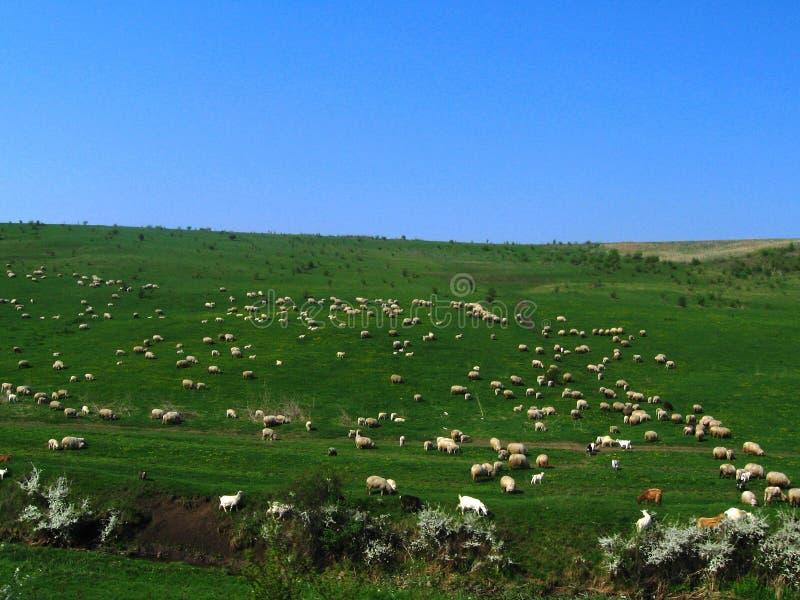 Sheeps e cabras fotos de stock