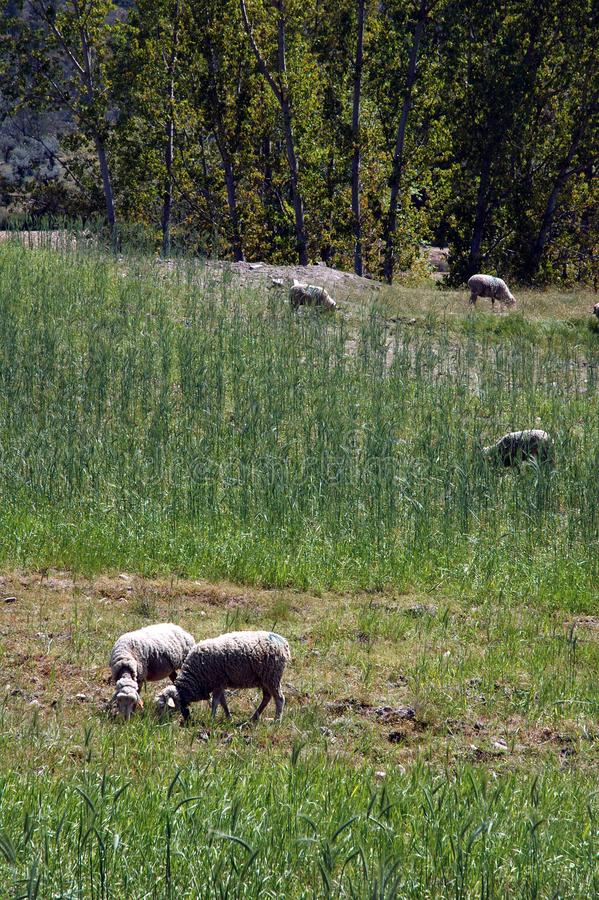 Sheeps Eating Grass Free Stock Photography