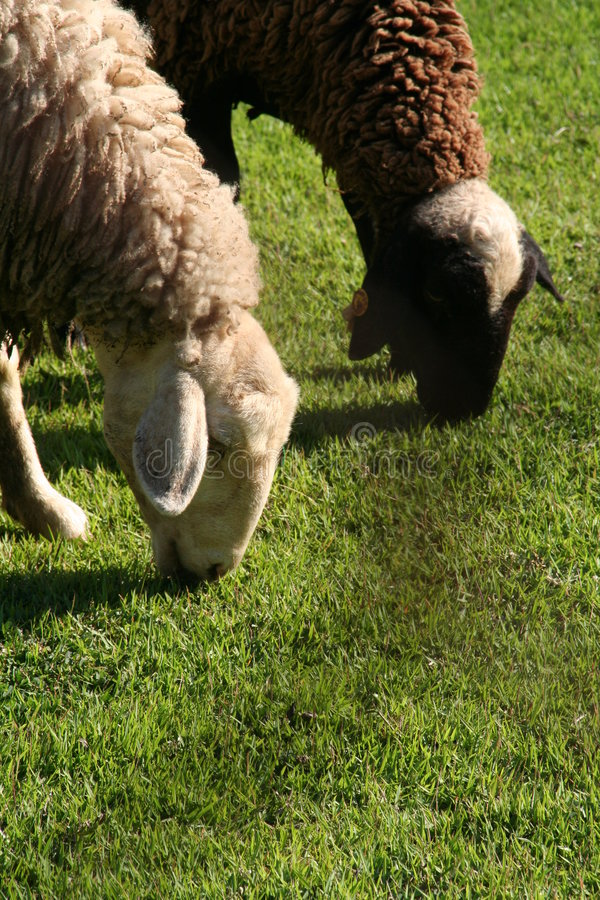 Free Sheeps Eating Grass Stock Photography - 1702502