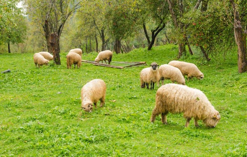 Sheeps royalty free stock photo