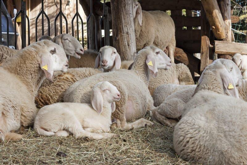 Sheeps ed agnelli immagine stock