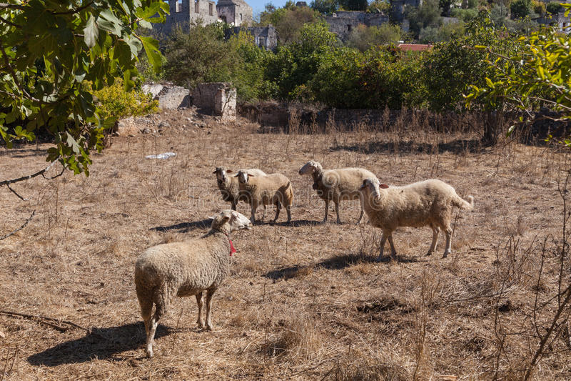 Sheeps in een spookstad van Kayakoy royalty-vrije stock fotografie