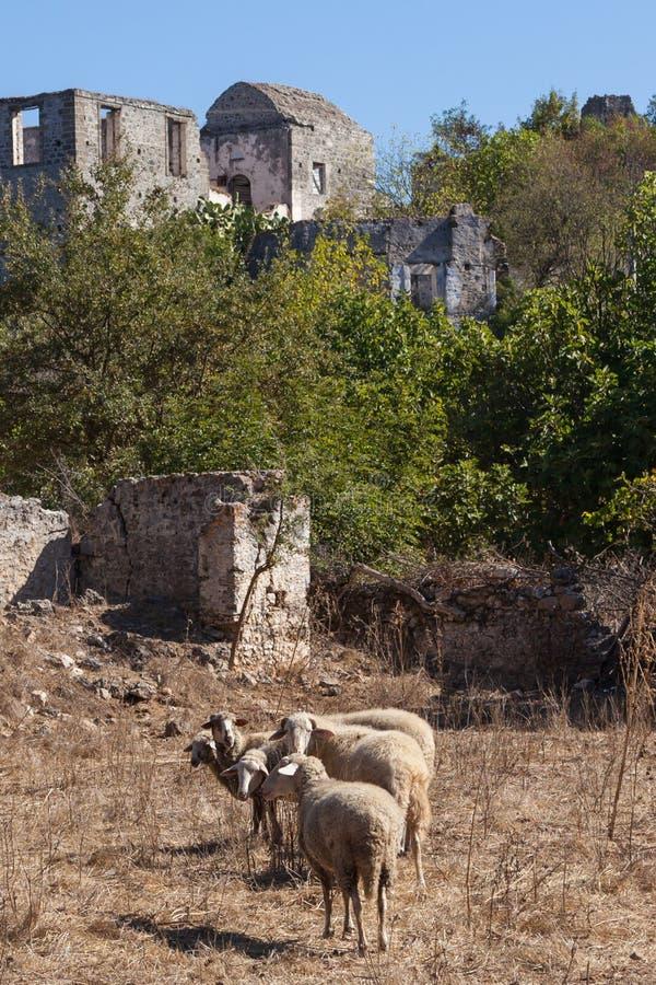 Sheeps in een spookstad van Kayakoy royalty-vrije stock foto's
