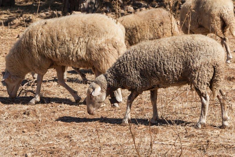 Sheeps in een spookstad van Kayakoy royalty-vrije stock afbeeldingen