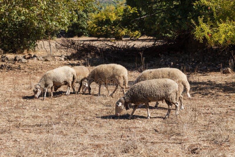 Sheeps in een spookstad van Kayakoy stock afbeeldingen