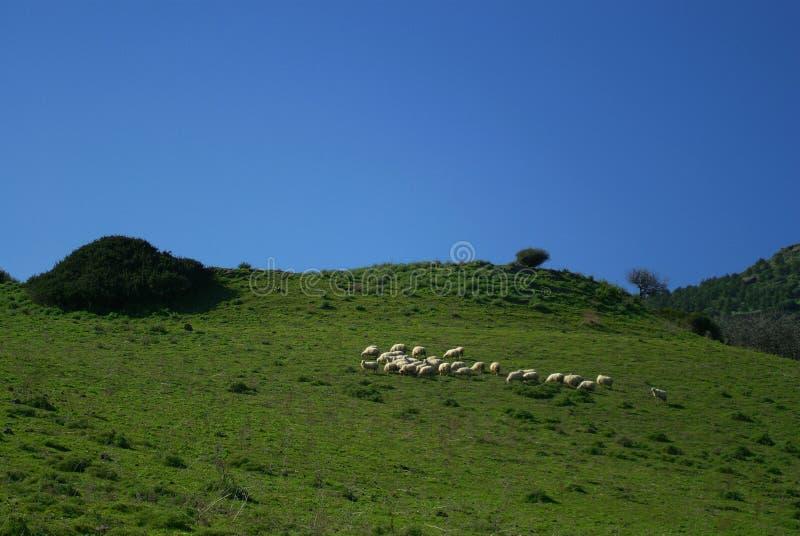 Sheeps em Sardinia foto de stock royalty free