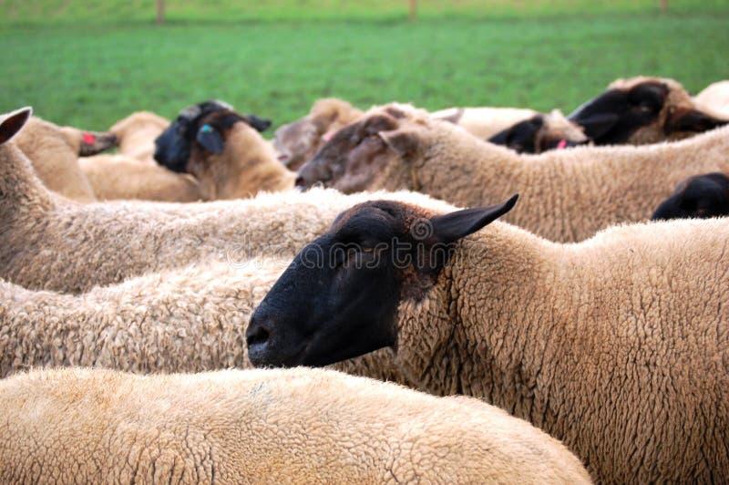 Sheeps en la granja fotos de archivo libres de regalías