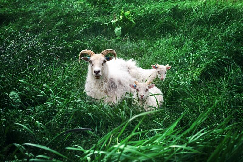 Sheeps family on green meadow royalty free stock photography