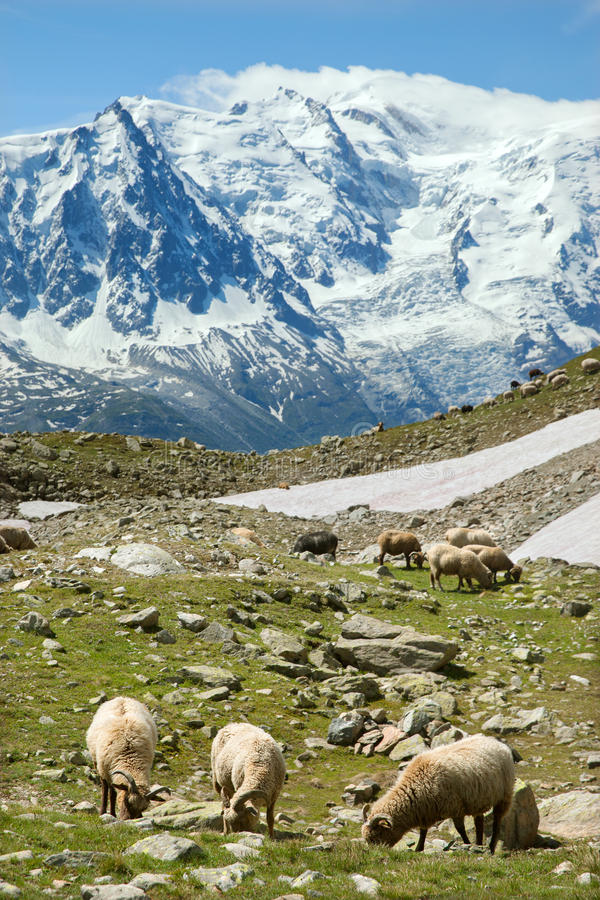 Sheeps feed on alpine meadow stock photography