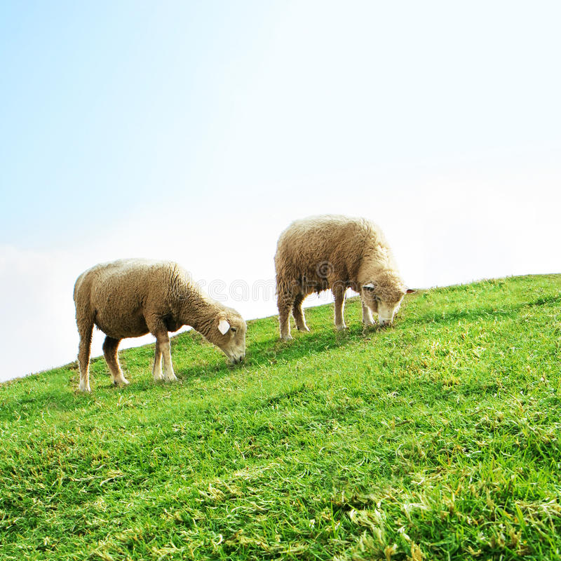 Sheeps in the Field royalty free stock photo