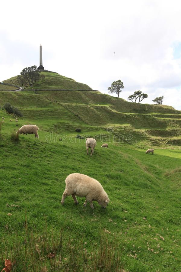 Sheeps in the field at One Tree Hill stock photo