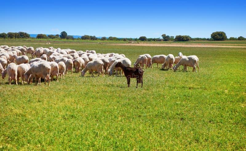 Sheeps flockas i CastileLa Mancha royaltyfria foton