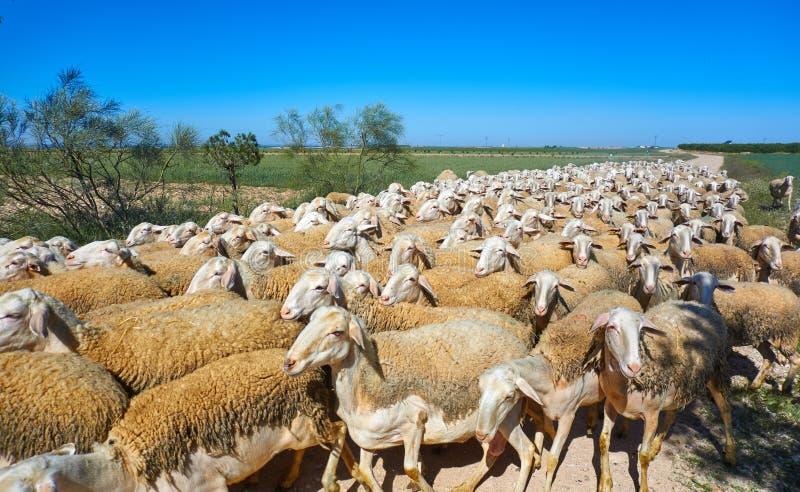 Sheeps flockas i CastileLa Mancha Spanien royaltyfri fotografi