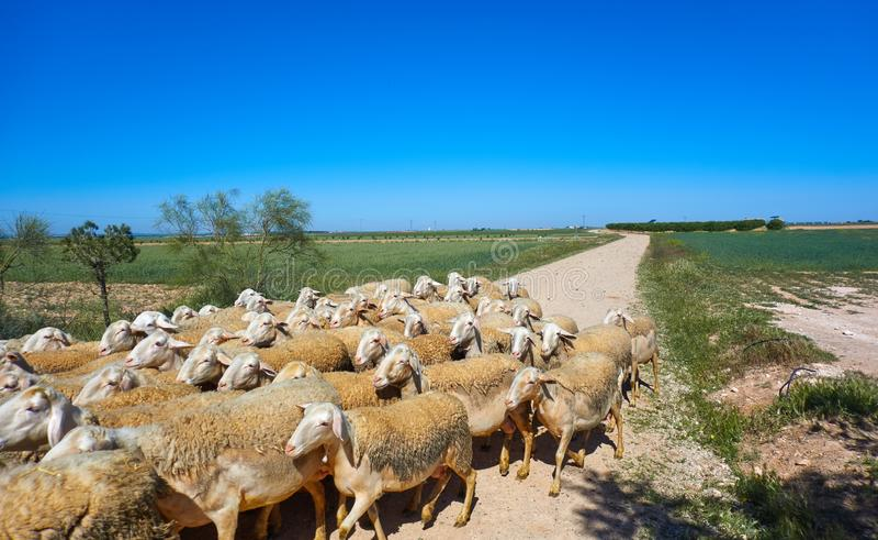 Sheeps flockas i CastileLa Mancha Spanien arkivbild