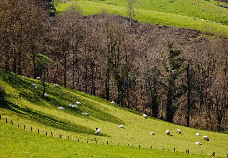 Download Sheeps On The Grass Stock Photo - Image: 39769054