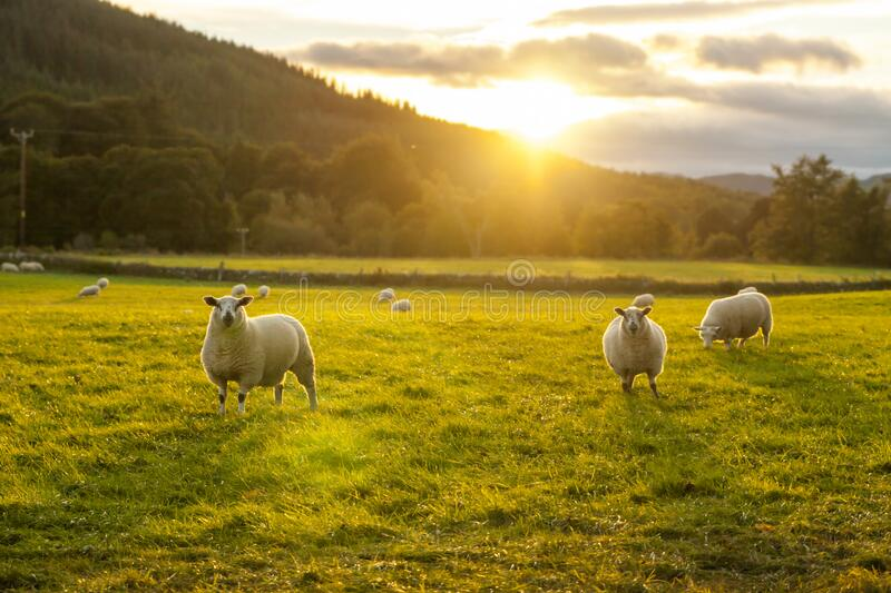 Sheeps in grass field in highlands Scotland beauty places stock photography