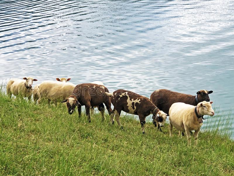 Sheeps on the grasslands in the valley of Wagital or Waegital and by the alpine Lake Wagitalersee Waegitalersee, Innerthal stock photos