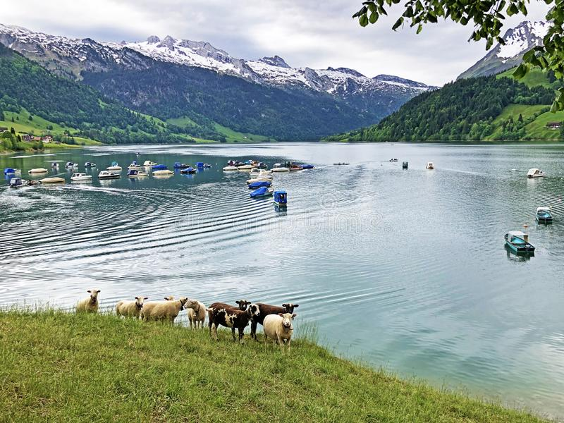 Sheeps on the grasslands in the valley of Wagital or Waegital and by the alpine Lake Wagitalersee Waegitalersee, Innerthal royalty free stock photo