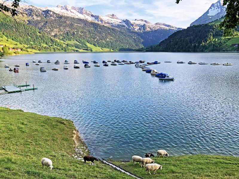 Sheeps on the grasslands in the valley of Wagital or Waegital and by the alpine Lake Wagitalersee Waegitalersee, Innerthal stock image