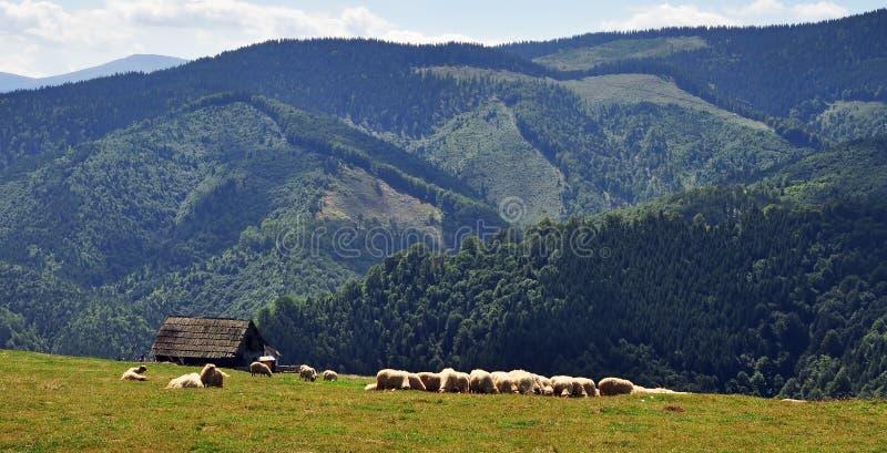 Download Sheeps grazing stock image. Image of cattleman, grazing - 27610801