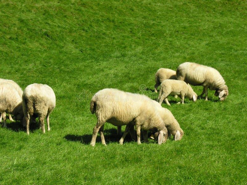 Sheeps grazing stock photos