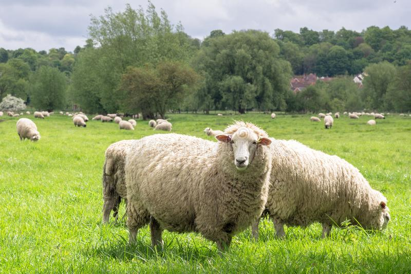 Sheep grazing in the medow stock images