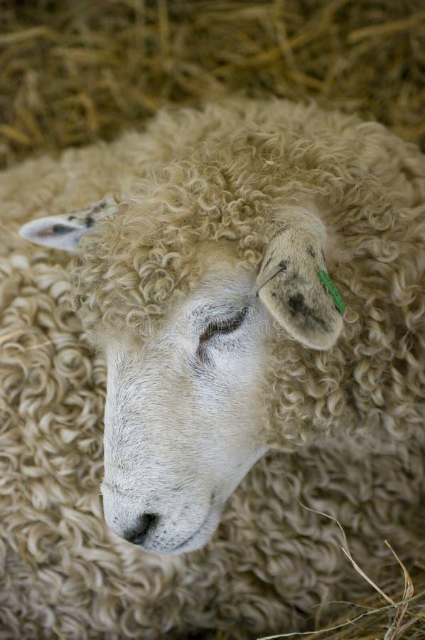 Free Sheeps Head Royalty Free Stock Photo - 15043735