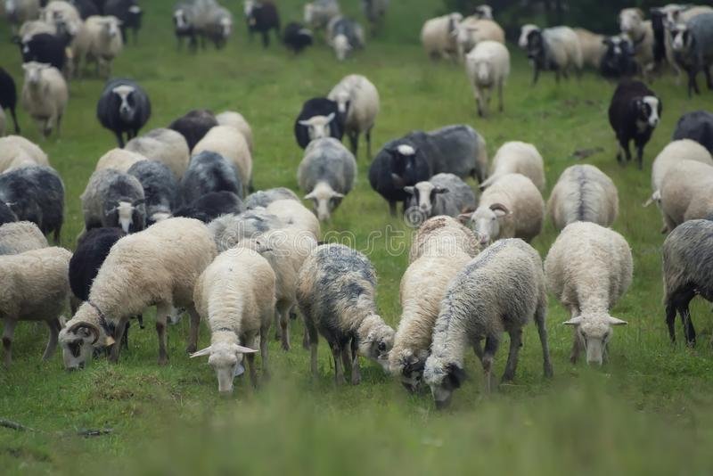 Sheeps herd on the pasture royalty free stock photo