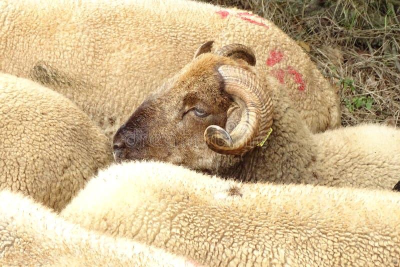 Sheeps het weiden op een groen gebied royalty-vrije stock afbeeldingen