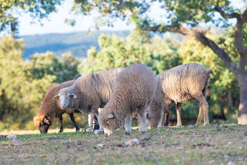 Sheeps het weiden op het Gebied royalty-vrije stock foto