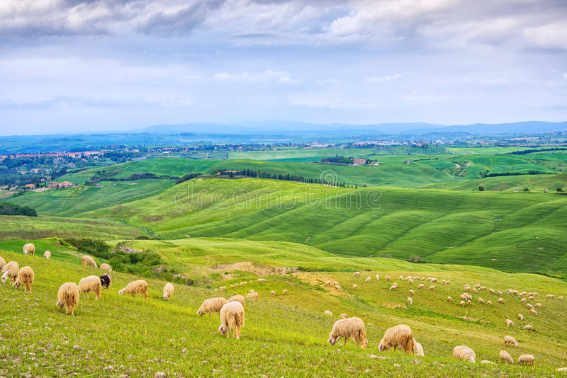 Sheeps het weiden op groene gebieden in Orcia-Vallei, Siena, Toscanië, Italië stock foto