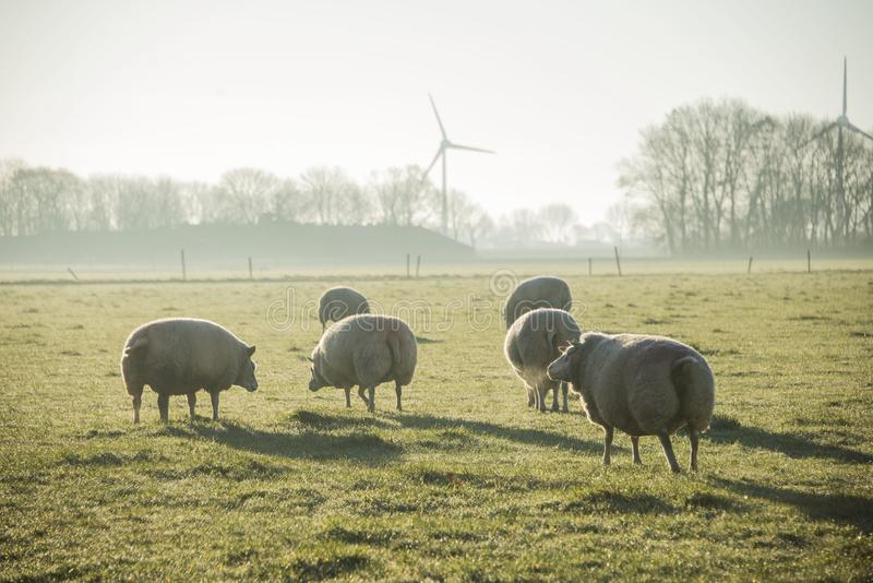 Sheeps in het weiland met ochtendzonlicht royalty-vrije stock foto's