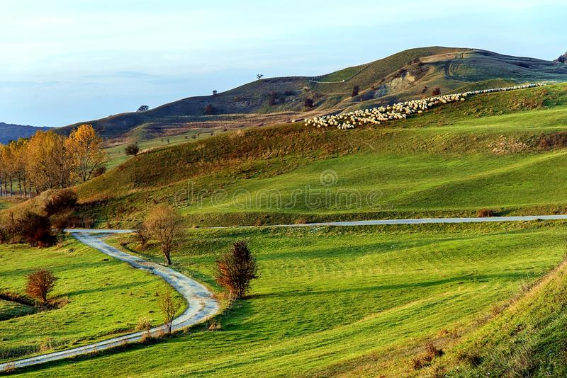 Sheeps on a hill in Viscri stock photography