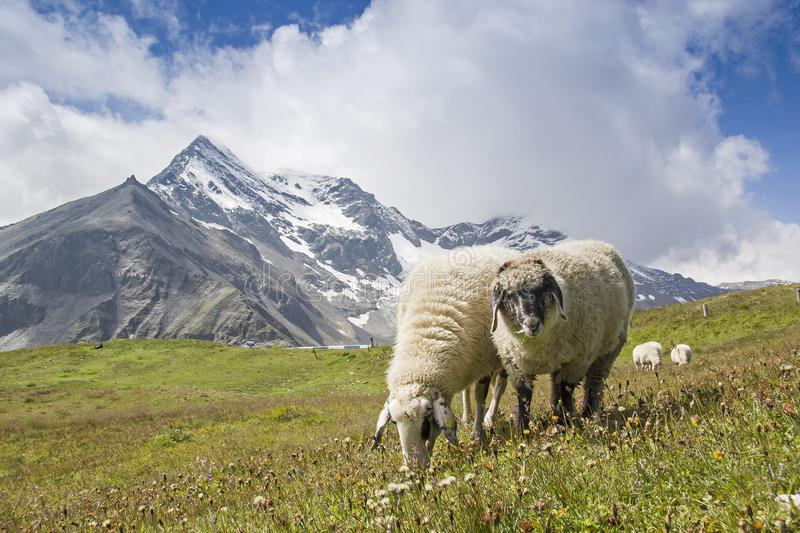 Sheeps in the Hohe Tauern mountains stock photo