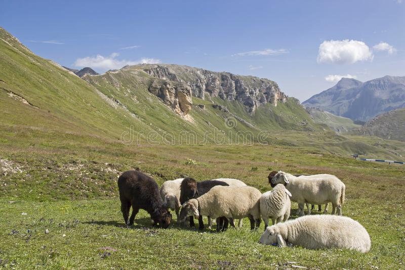 Sheeps in the Hohe Tauern mountains royalty free stock image