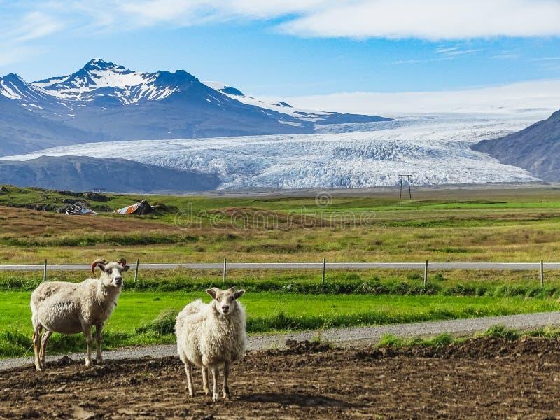 Sheeps i den Island Vatnajokull glaciären i bakgrund royaltyfria bilder